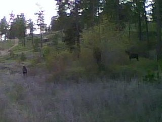Two moose near the trail